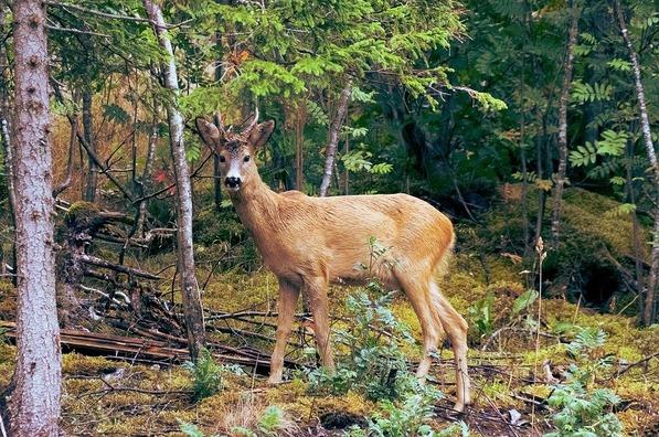 deer-1246523_960_720