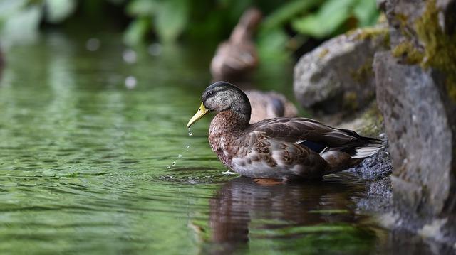 duck-1209548_960_720