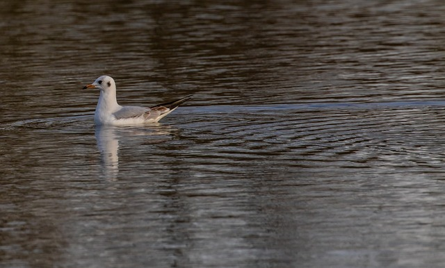 black-headed-gull-4728671_960_720