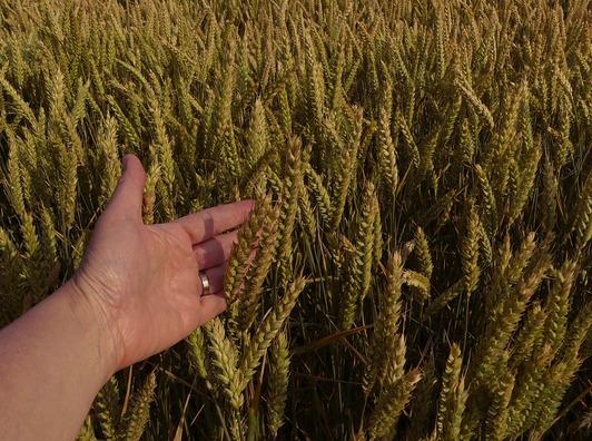 wheat-2471374_960_720