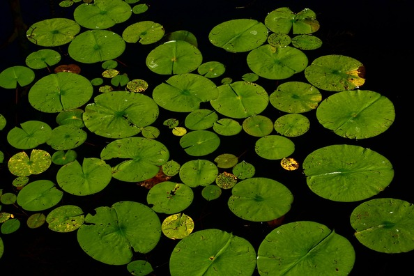 lotus-238452_1920