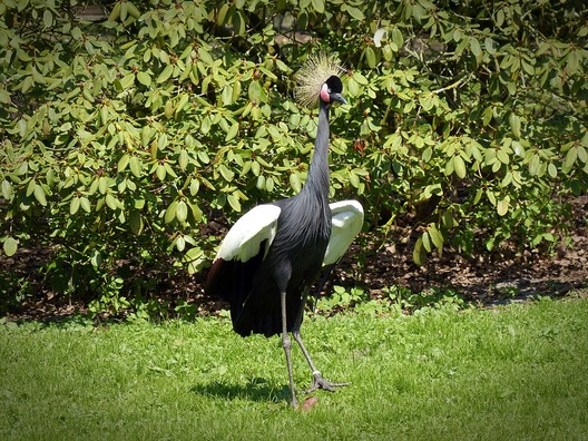 black-grey-crowned-crane-1376133_960_720