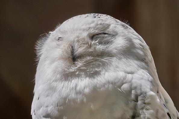 snowy-owl-2327902_960_720
