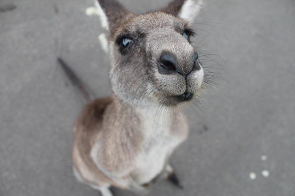 kangaroo-1149807_960_720