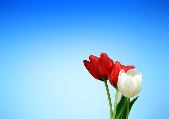 tulips-65036_960_720