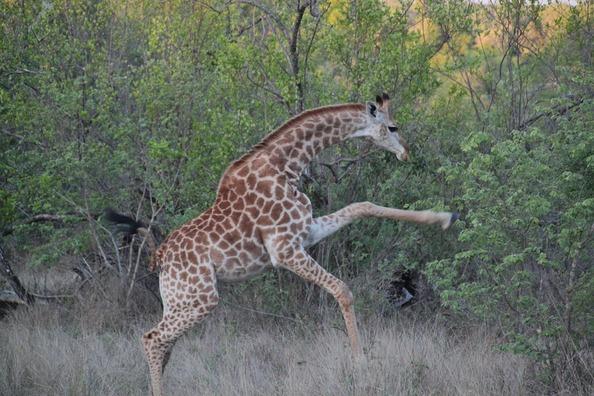 giraffe-290745_960_720