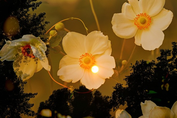 anemone-3629484_960_720
