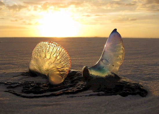 jellyfish-1969693_960_720