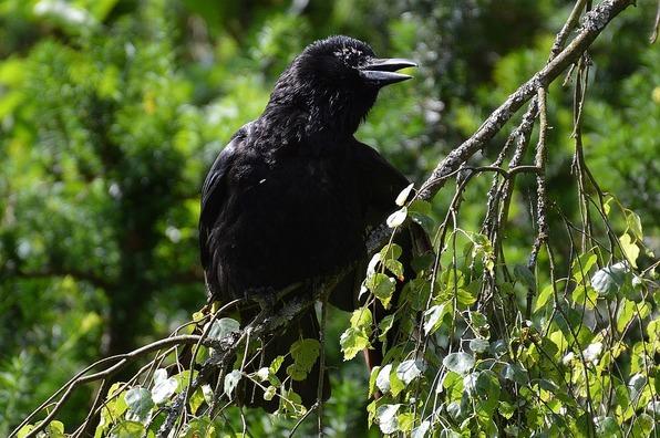 raven-822959_960_720