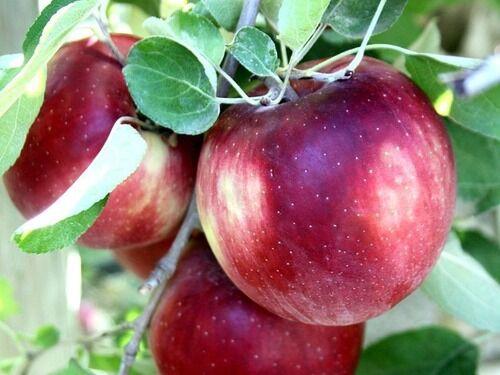 冷蔵庫で1年保存可能…皮をむいても変色しないリンゴがアメリカで本格出荷