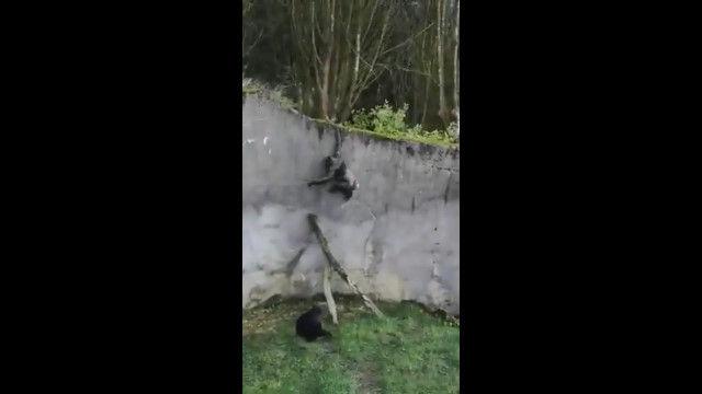 嵐による倒木を利用し、囲いの中から脱走してしまったベルファスト動物園のチンパンジーたち