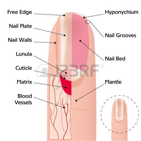 39365214-人間の指の爪の構造の医療のスキーム図