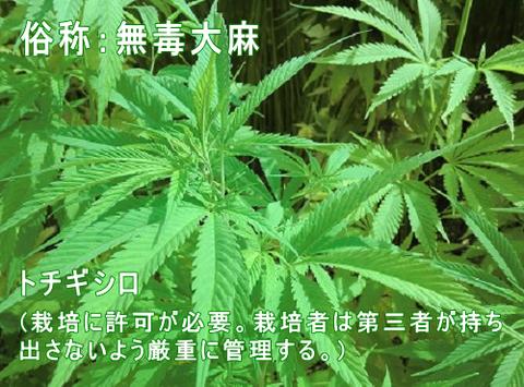 tochigishiro500