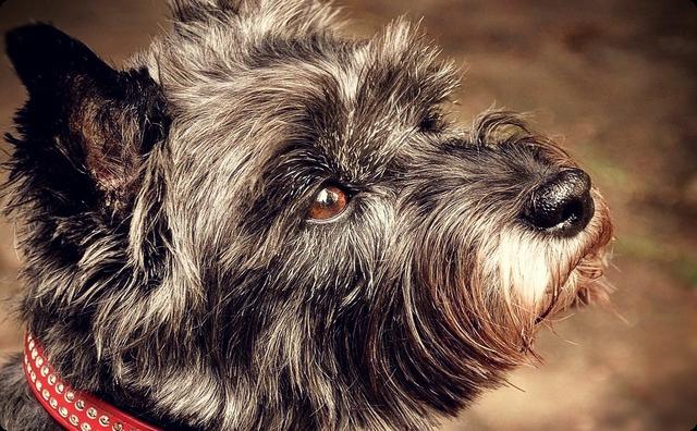灰色の小型犬