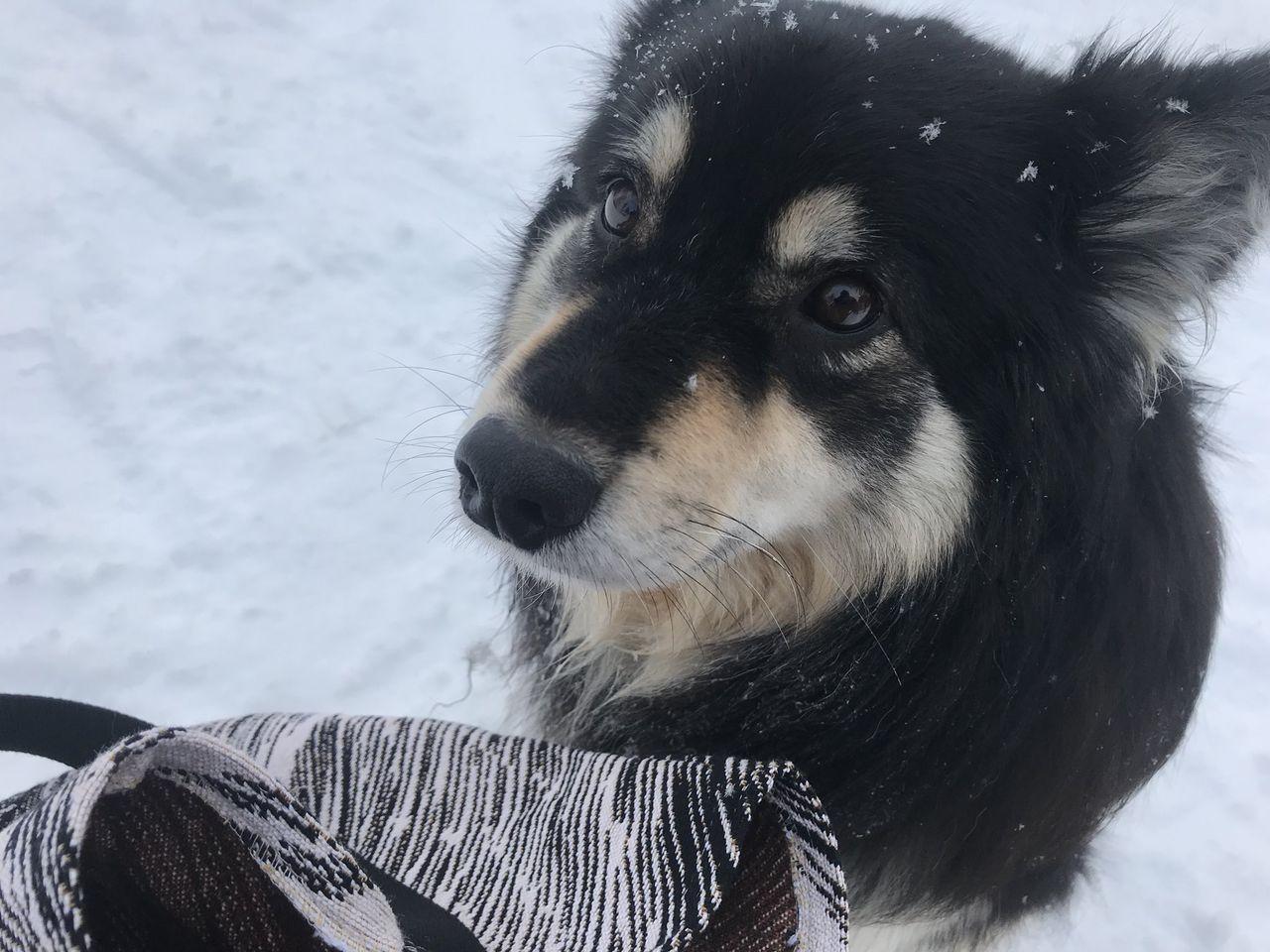 【事故】なるちゃん、フィンランド犬に襲われる【動画】
