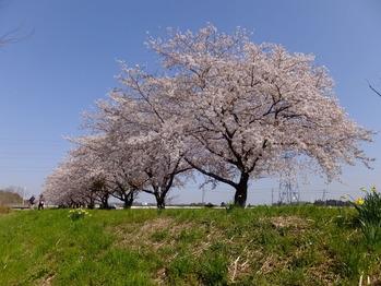 嵐山町都幾川桜4