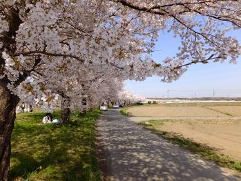 嵐山町都幾川桜3