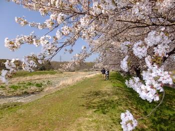 嵐山町都幾川桜5
