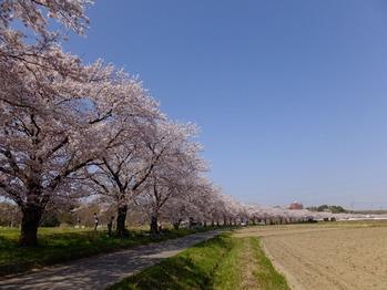 嵐山町都幾川桜2