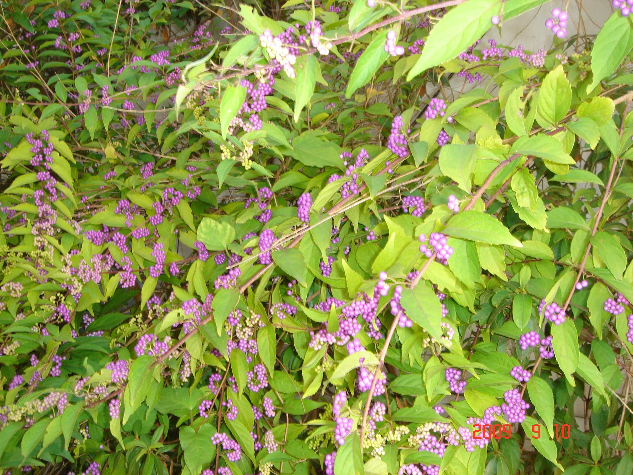 紫式部 花 季節