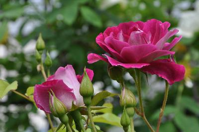 ピンク・アイスバーグ、DSC_0506