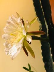 サボテンの花2020-2