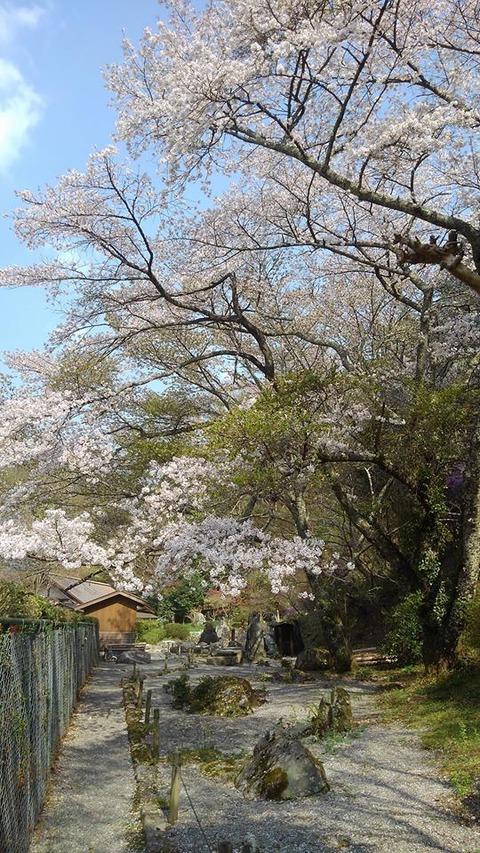 4波瀬植物園桜