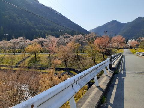2020-4-9スメール桜 (1)