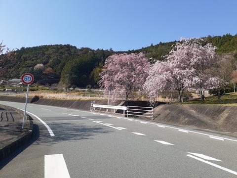 2020-4-9国道166沿い桜 (2)