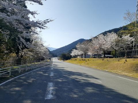 2020-4-9国道166沿い桜
