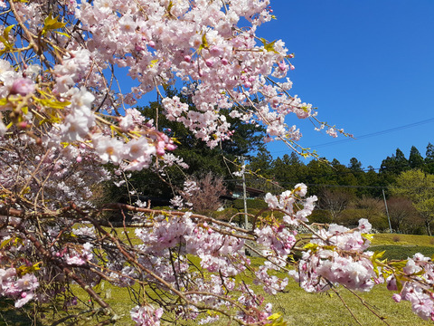 2020-4-9国道166沿い桜 (4)