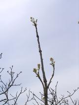立派なタラの木