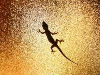 largatixa-gecko_2907349