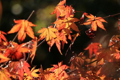 栃木県民の森:宮川渓谷歩道(小さな秋色を探しました。)