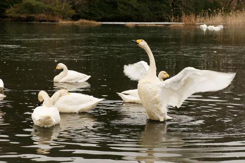 酉年の最後を飾る白鳥の舞い(喜連川丘陵にて里山散歩!)