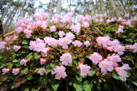 花瓶山(栃木百名山:イワウチワと春の花たち!)