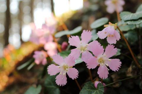 咲き誇る富谷のイワウチワ!(栃木県那珂川町)