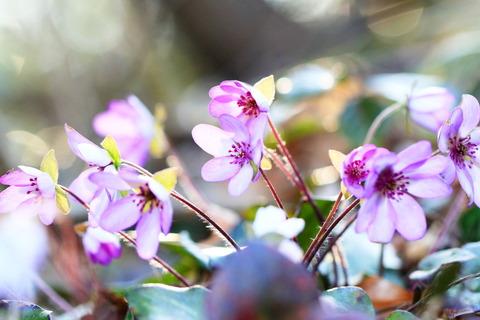 春のお花に夢心地!(新潟県。角田山:新花の百名山)