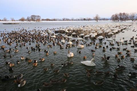 白鳥の湖にて、群れる幸せを感じました(^^)v!