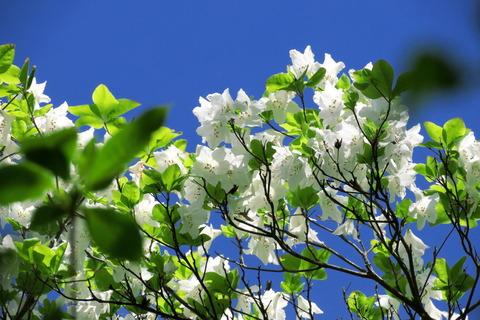 シロヤシオ咲き誇る八溝のお山!