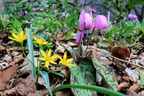 春の花咲く弥彦山(新潟県弥彦村!)