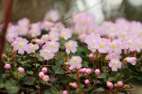 花瓶山 ** 栃木百名山・イワウチワ咲き誇る癒しの山旅!