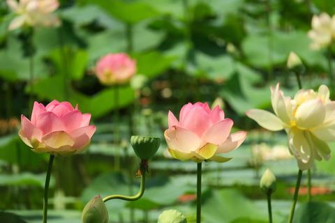 猛暑でも、美しき蓮の花(喜連川丘陵:ミセス・スローカム)