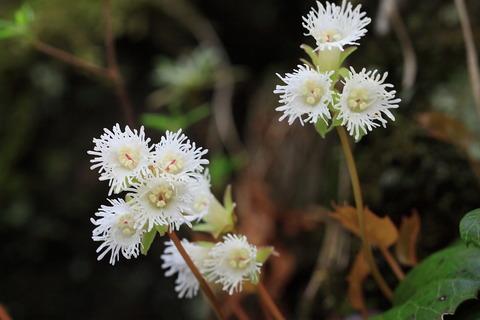 鞍掛山~古賀志山:純真なイワカガミが咲く稜線を歩いた!