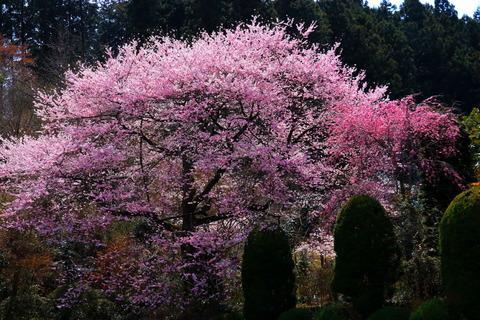 にっぽんの心、桜を愛でる!(佐久山御殿山公園)