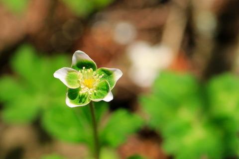 裏八溝で幸せを呼ぶ花、ミドリニリンソウを愛でる!