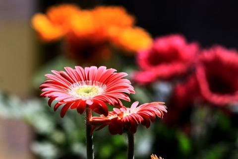 術後は、お家でお花を愛でた♬(ガーベラ)