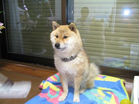 10年目のお別れ。東日本大震災の被災犬ハルが逝く!