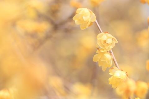 羽黒山(栃木百名山:ロウバイが微笑む花曇りに春の色!)