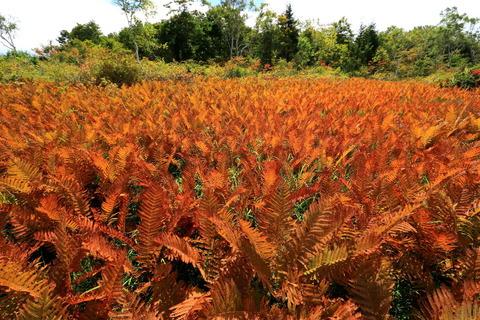 ヤマドリゼンマイの秋の園(駒止湿原)